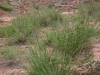 Brownseed paspalum: Whole Plant