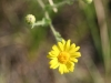 Camphorweed: Flower