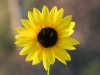 Common sunflower, Annual sunflower: Flower