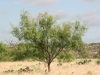 Honey mesquite: Whole Plant