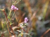 Knotweed: Flower