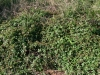 Southern Dewberry: Whole Plant