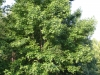 Sweetgum: Whole Plant