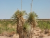 Soaptree Yucca: Whole Plant