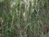 Broomsedge bluestem: Whole Plant
