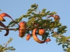 Catclaw Acacia: Fruit
