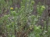 Curlycup gumweed: Whole Plant
