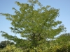 Honey locust: Whole Plant