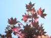 Maple: Leaf
