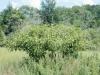 Pokeberry, Pokeweed: Whole Plant