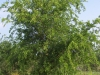 Sugar hackberry: Whole Plant
