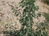 Tree tobacco: Whole Plant