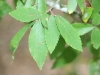 Winged elm: Leaf