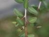 Yaupon: Leaf
