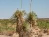 Soaptree Yucca: Whole Plant