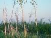 Yucca: Whole Plant