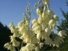 Wavey Leaf Yucca: Flower